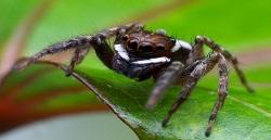¿Sabías qué las arañas saltarinas ocupan la vibración en su ritual de apareamiento?