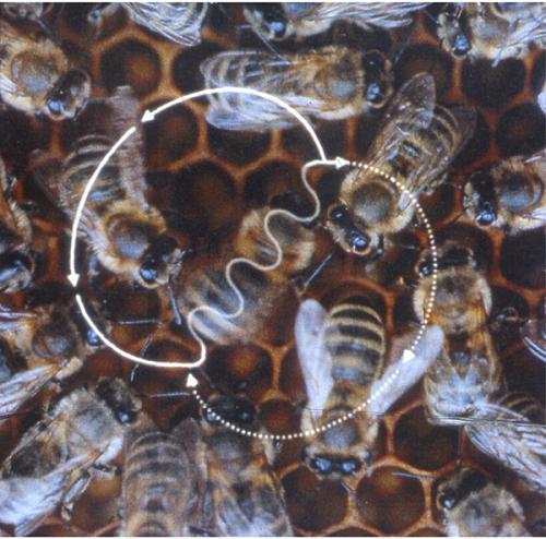 ¿Para qué sirven las vibraciones en la danza de las abejas?