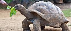 ¿Cómo pesarías a una tortuga gigante?